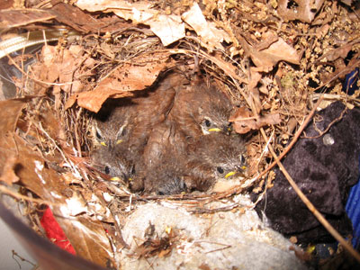 Carolina Wren nestlings 12 days old. Photo by Karen Ouimet