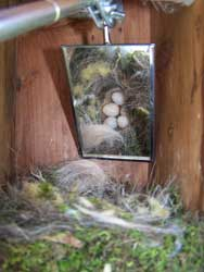 It's important to regularly monitor nestboxes.  This is a photo fo monitoring a chickadee nest using a mirror.  Photo by EA Zimmerman