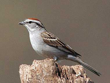 Chipping Sparrow. Photo by Wendell Long.