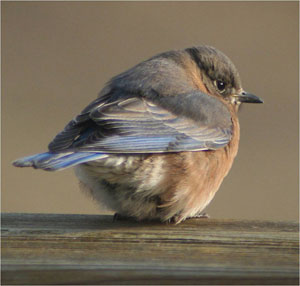 Cold Bluebird.  Photo by Karin Pelton