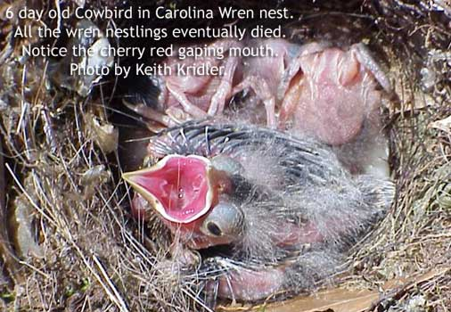 Six day old Cowbird in Carolina Wren nest. Photo by Keith Kridler.