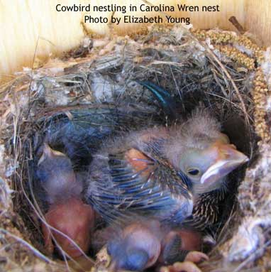 Cowbird nestling in Carolina Wren nest. Photo by Elizabeth Young.