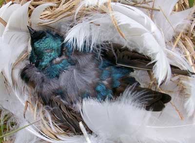 Dead tree swallow on nest.  Photo by Bet ZImmerman