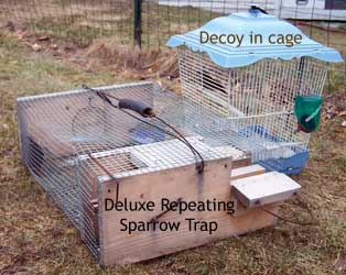 House sparrow decoy in cage used with ground trap.