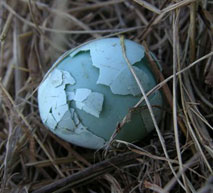 Double shell bluebird egg. Keith Kridler photo.