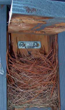 Eastern Bluebird nest