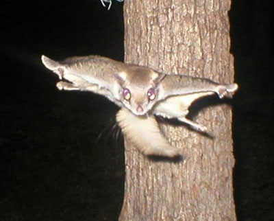 Flying squirrel. Photo by Gene Glaser of MO.