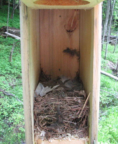 Great-crested Flycatcher nest. Photo by Richard Harlow