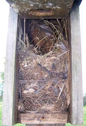 House Sparrow Nest Box...