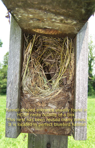 House Sparrow Nest.  Photo by EA Zimmerman