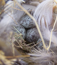 House Sparrow eggs. Photo by Bet Zimmerman.