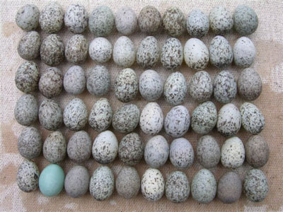House Sparrow Eggs. Photo by Keith Kridler.