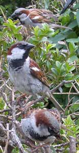 Male House Sparrows in france.