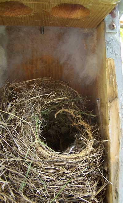 House sparrow nests eggs and young photos for Built by nester