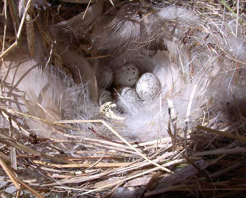 HOSP nest.  Photo by Bet Zimmerman.
