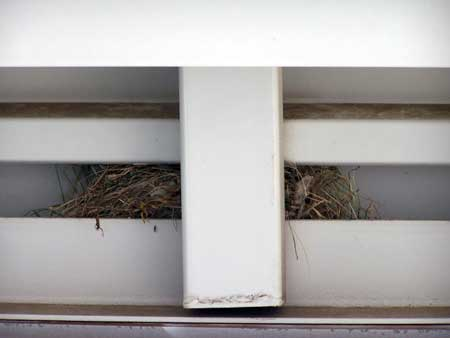 Photo of HOSP nesting in carport.  Photo by E. Zimmerman