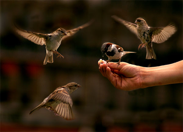 House Sparrows in flight. PHoto by Lisa Solonynko