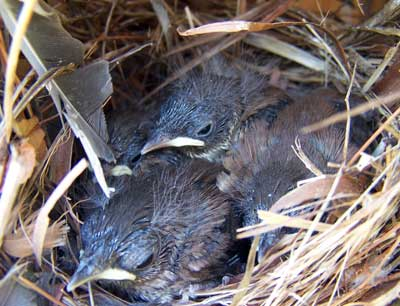 House Wren nestlings. Photo by Bet Zimmerman.