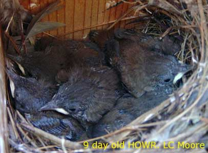 Nine day old House Wren chicks. Photo by LC Moore.
