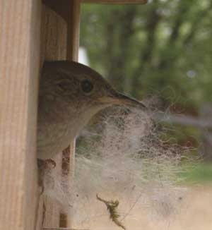 House Wren removing chickadee nest from box.  Photo by Bet Zimmerman