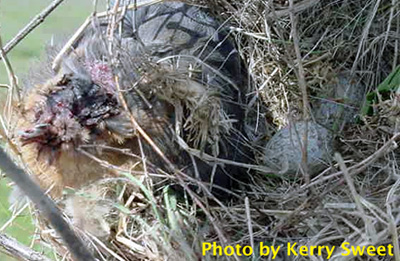 Dead bluebird incorporated into HOSP nest. Photo by K. Sweet.