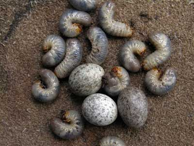 HOSP eggs next to grubs. Photo by Keith Kridler.