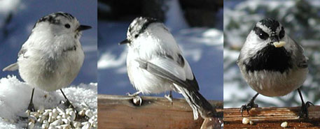 Leucistic Mountain Chickadee.  L Violett photo