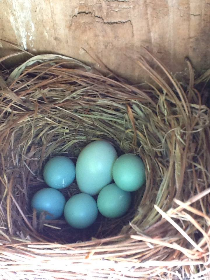 Henke photo large blue egg in bluebird nest