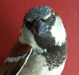 Male House Sparrow. Photo by Bet Zimmerman.
