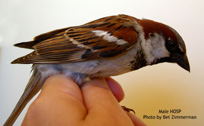 Male house sparrow. Photo by Bet Zimmerman