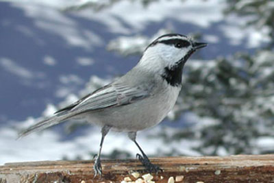 Mountain Chickadee adult.