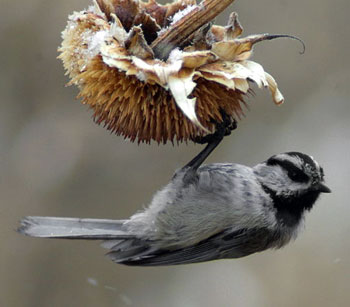 Mountain Chickadee. Wikimedia Commons photo