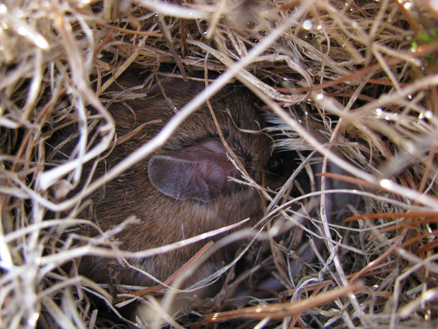 Mouse in bluebird nest. Photo by Bet Zimmerman.
