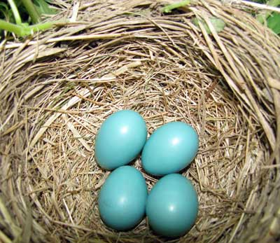 Robin's nest. Photo by Bet Zimmerman.