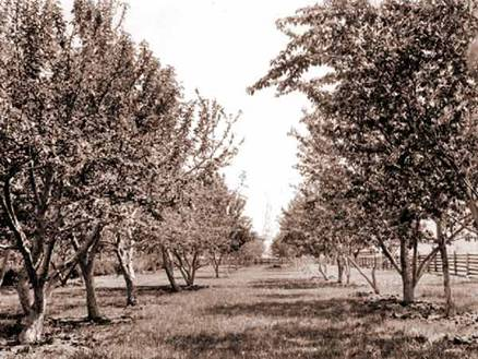 An old orchard