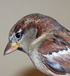 House Sparrow head beak