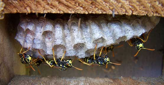 European Paper Wasp nest. Photo by Bet Zimmerman.