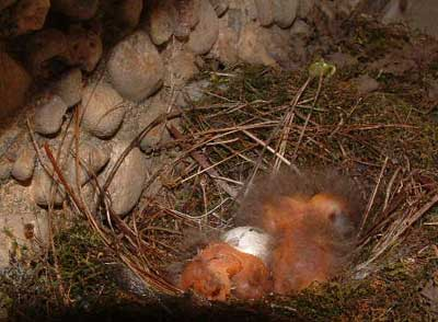 Phoebe nestlings. Photo by Chris Asmann.