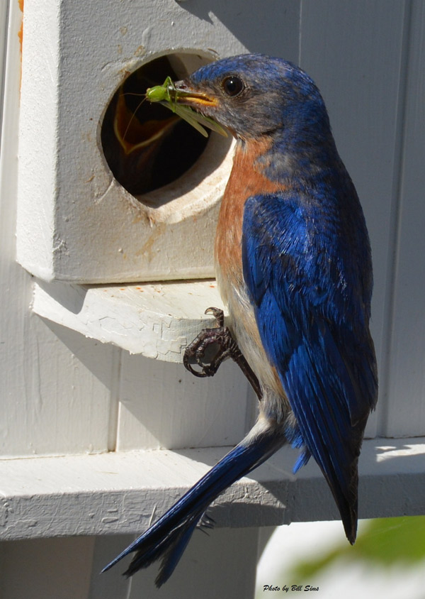 Male Eastern Bluebird, photo by Bill Sims