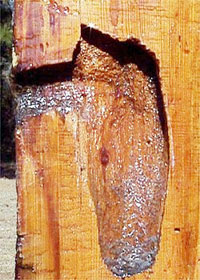 Red Cockaded Woodpecker cavity, photo courtesy U S Fish and Wildlife Service, Carolina Sandhills National Wildlife Refuge