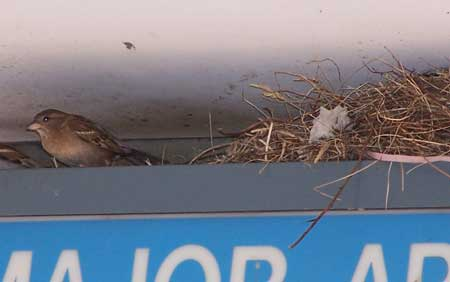 Female HOSP nesting on sign. Photo by Bet Zimmerman.