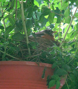 robin on nest. Photo by Bet Zimmerman.