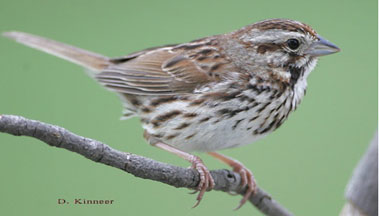 Other Brown Birds: photos of house sparrows, house wrens