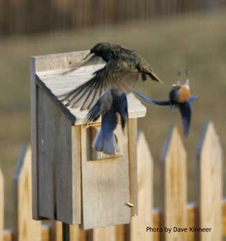 Bluebirds driving a starling from their nestbox.  Photo by Dave Kinneer