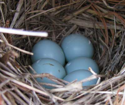 Taylor Brooke bluebird eggs.
