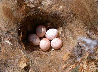 Titmouse nest with eggs. Photo by EA Zimmerman.
