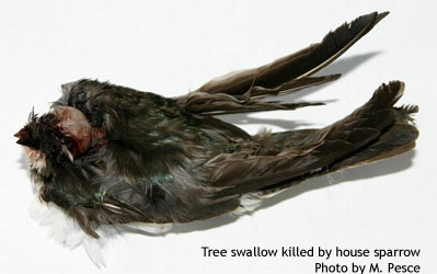 Tree swallow killed by house sparrow.  Photo by Michelle Pesce.