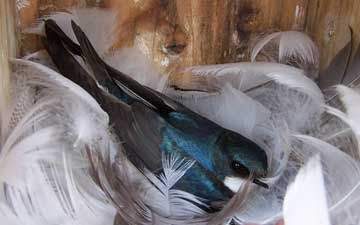 All About Tree Swallows On The Bluebird Trail