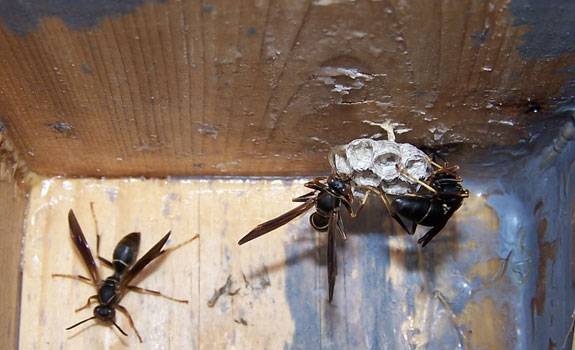 Native Paper Wasp in nestbox? EA ZImmerman