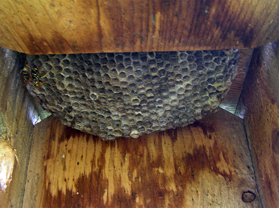 Paper wasp nest. Photo by Cher Layton.